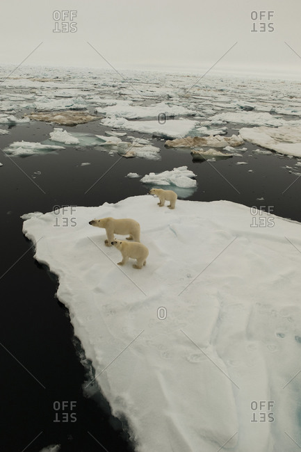 A family of polar bears stands on a field of ice.