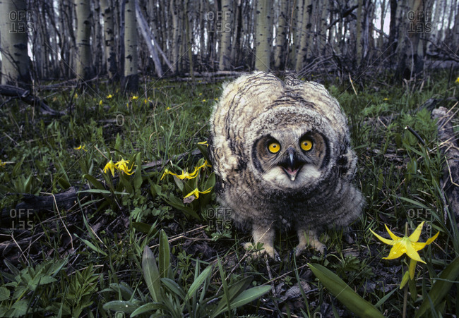 Great horned owl young in aspen grove, Idaho.