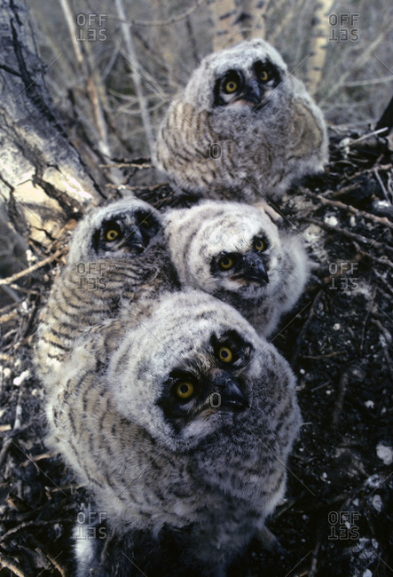 A nest full of great horned owlets.