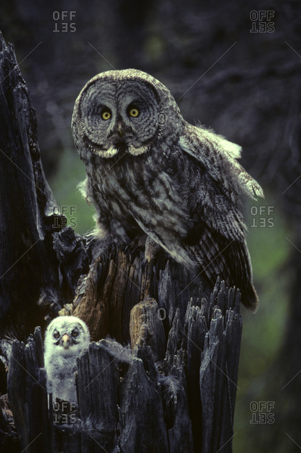 Great gray owls on nest in Idaho