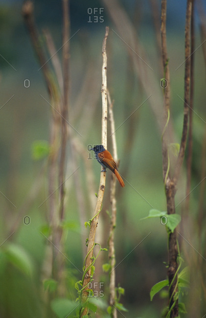 An African Paradise Flycatcher hunting insects in a farm field.