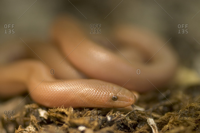 Closeup of a Rosy Boa snake slithering through the forest.