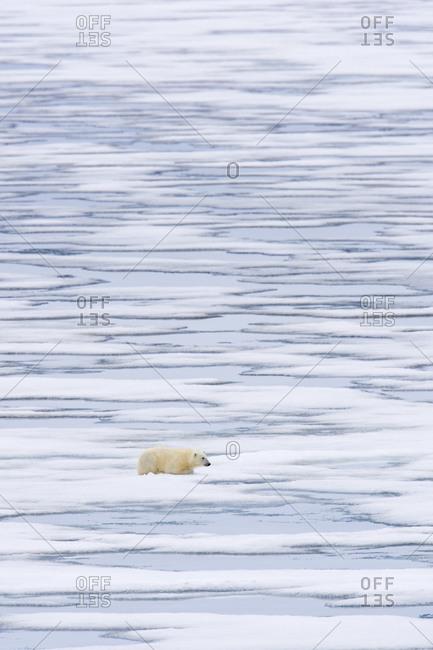 A polar bear on pack ice.