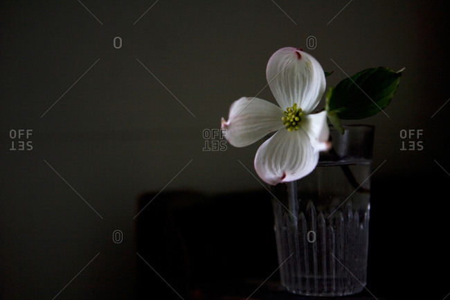 Single white flower in a glass of water