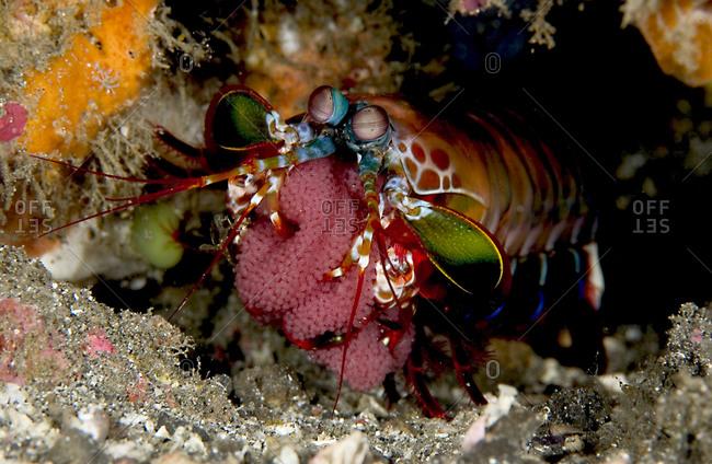 Peacock Mantis shrimp guards egg case