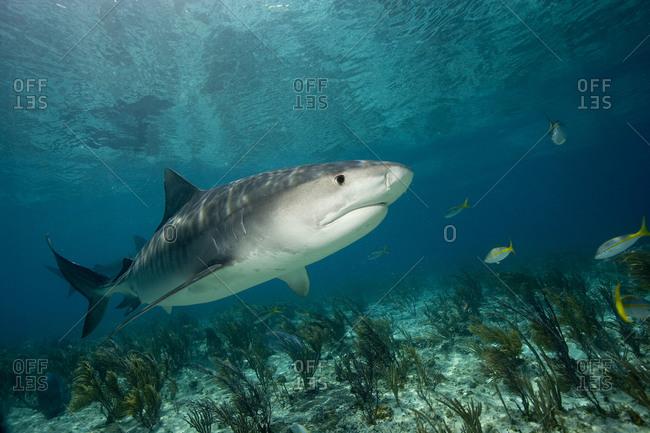 Tiger Shark, Galeocerdo cuvier, Bahamas