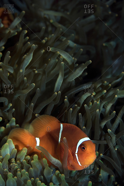 Spine-cheek anemonefish and anemone