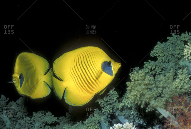 Masked butterflyfish on coral reef in Red Sea