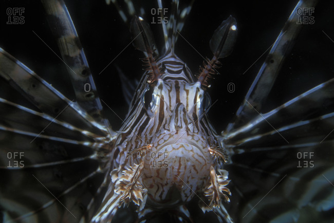 Close-up of Lionfish