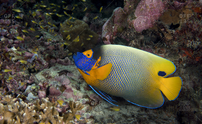 Yellow-mask angelfish (Pomacanthus xanthometopon)