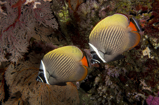 Redtail or Collared butterflyfish on coral reef