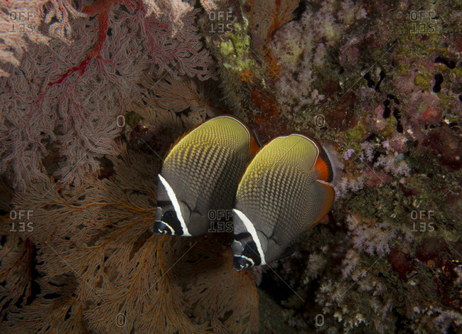Redtail or Collared butterflyfish (Chaetodon collare)