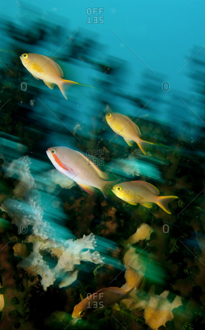 Schooling anthias on coral reef