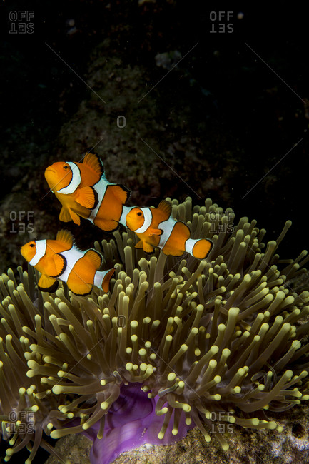 False clown anemonefish (Amphiprion ocellaris)