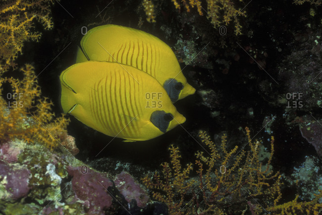 Masked butterflyfish, Red Sea - Offset