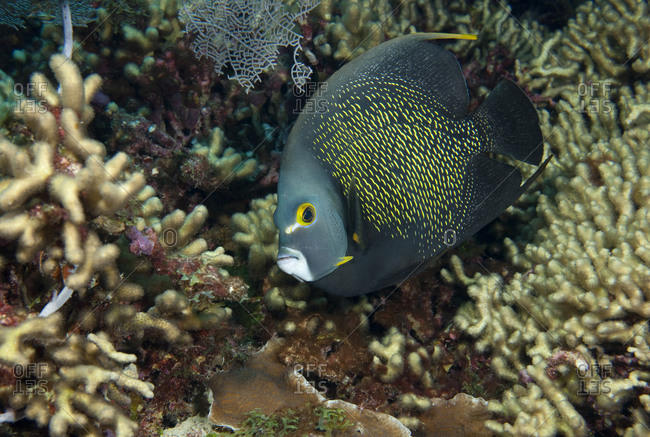 Close-up of French angelfish (Pomacanthus paru) peering at the photographer
