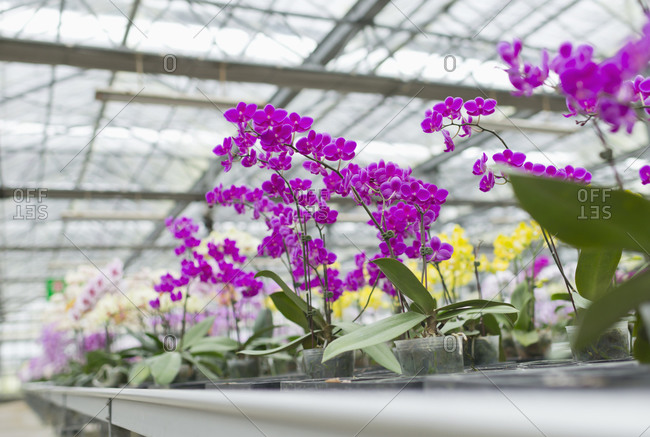 Colorful Orchid flowers in greenhouse