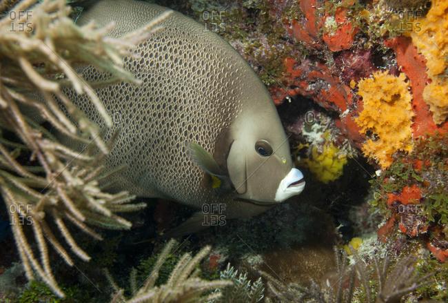 Close-up of Gray angelfish