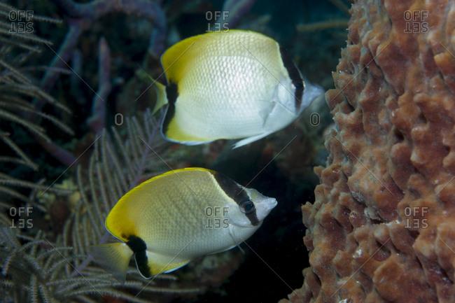 Reef butterflyfish (Chaetodon sedentarius)