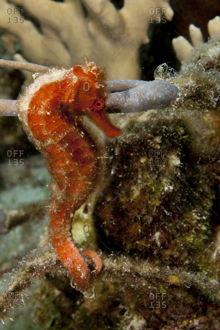 Underwater close-up of a Longsnout seahorse (Hippocampus reidi)
