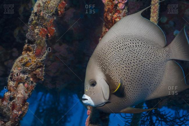 Gray angelfish (Pomacanthus arcuatus)