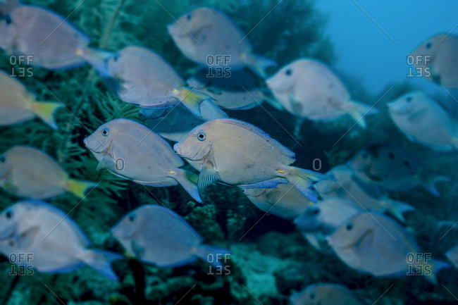 Blue tang (Acanthurs coeruleus)