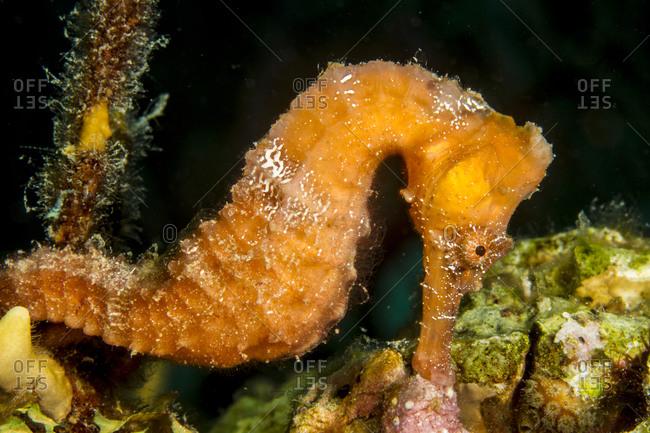 Longsnout seahorse (Hippocampus reidi) - Offset