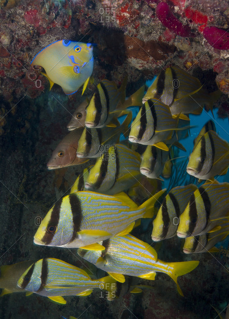 Porkfish (Anistremus virginicus) and Queen angelfish (Holacanthus ciliaris)