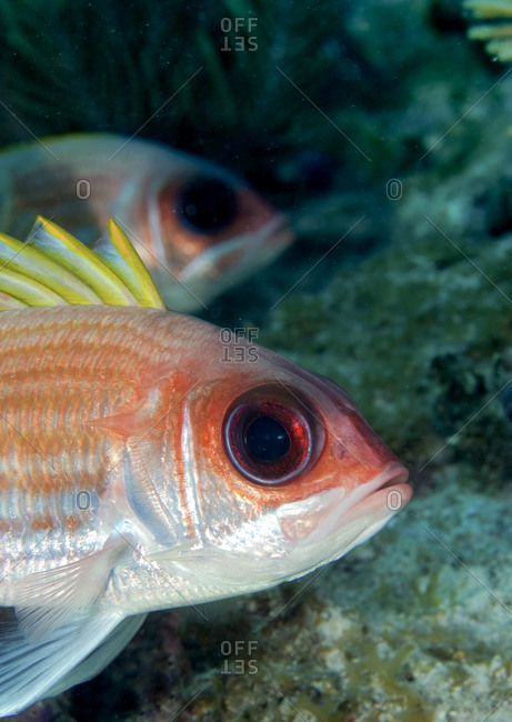 Closeup of a Squirrelfish (Holocentrus adscensionis) on Pillar Coral Patch, Florida Keys National Marine Sanctuary