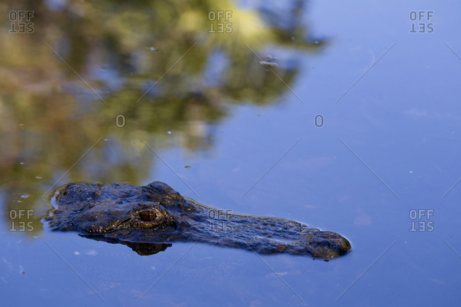 American Alligator (Alligator mississippiensis) partially submerged in the water