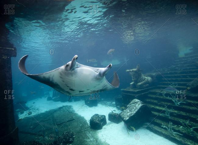 Manta ray (Manta birostris) roams through the Ruins Lagoon at the Atlantis Resort in the Bahamas