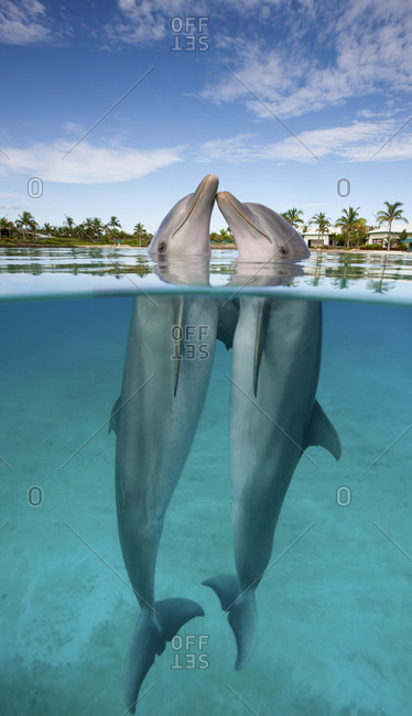Atlantic Bottlenose Dolphin (Tursiops truncatus), nose to nose in th Dolphin Cay at the Atlantis Resort, Bahamas