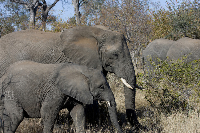 Adult elephant with calf - Offset