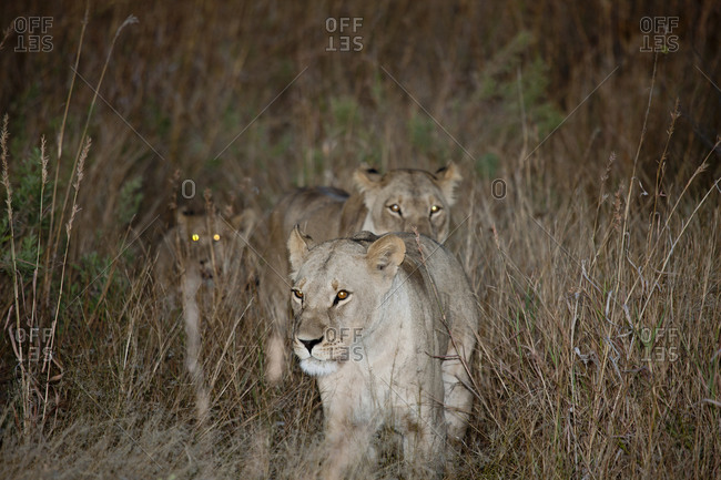Trio of lionesses