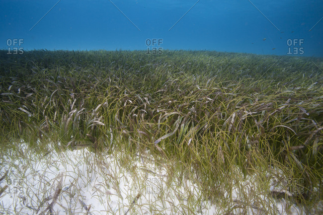 Various seagrasses on the floor of the Atlantic ocean