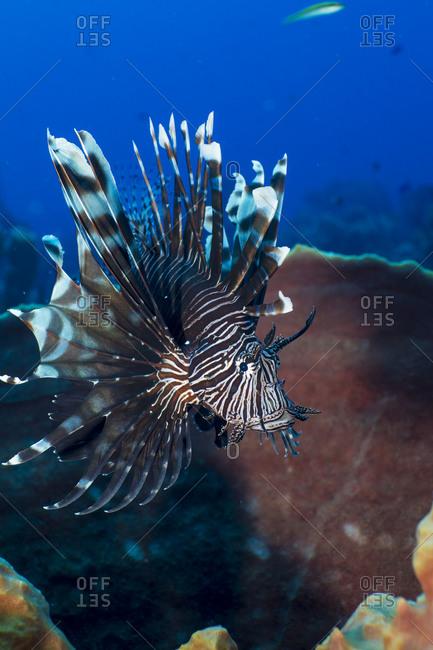 Invasive species, Lionfish (Pterois volitans)  flits about a basket sponge