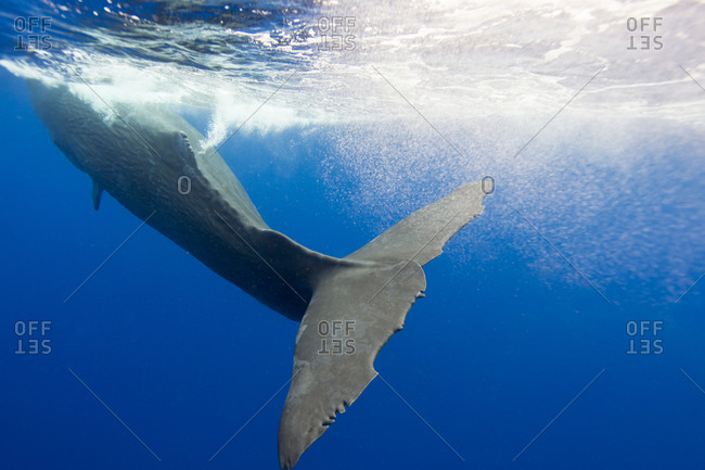 Ragged Tail fluke of the largest toothed whale, the Sperm whale, a marine mammal