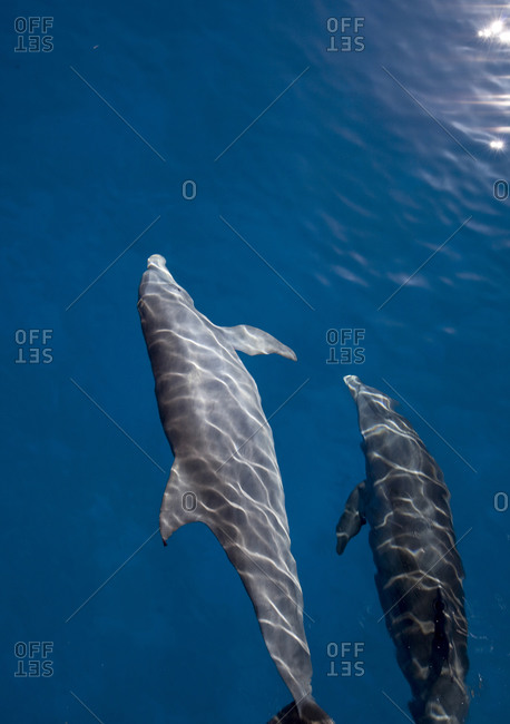 Atlantic bottlenose dolphin (Tursiops truncatus) seen at the water's surface on a calm day
