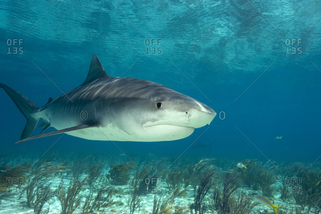 Imposing majesty of a Tiger shark