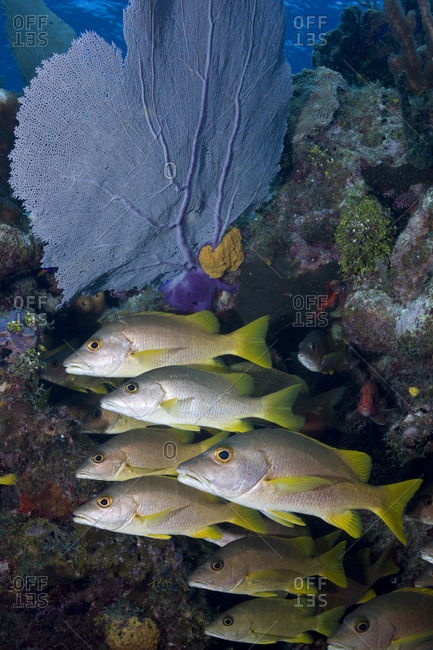 A school of Schoolmaster snapper (Lutjanus apodus) aligned near a Common sea fan (Gorgonia ventalina)