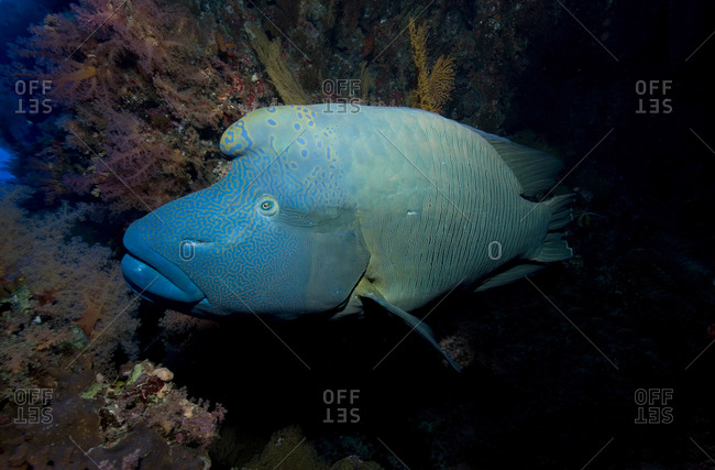The Large and wary Napoleonfish (Cheilinus undulatus)  The Napoleonfish is the largest and heaviest of all wrasses