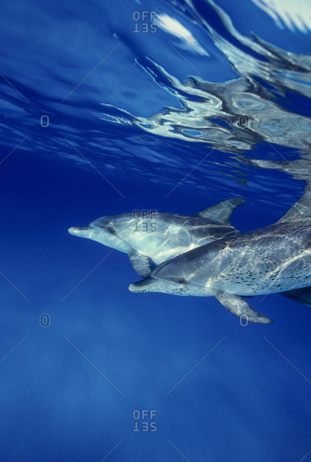 Spotted dolphins at White Sand Ridge