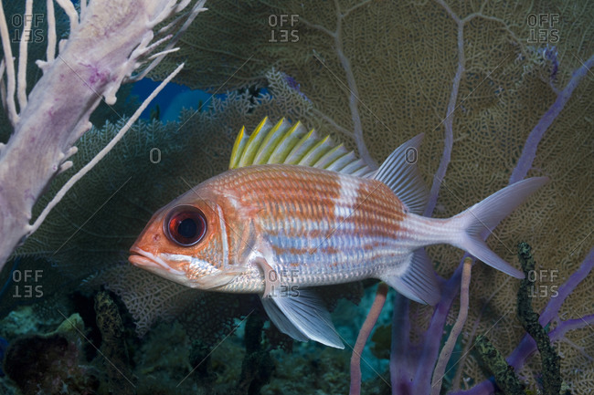 Squirrelfish (Holocentrus adscensionsis) in the shelter of a Sea plume (Pseudopterogorgia spp)