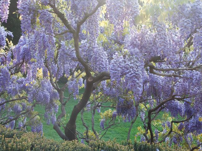 Purple wisteria tree in full bloom