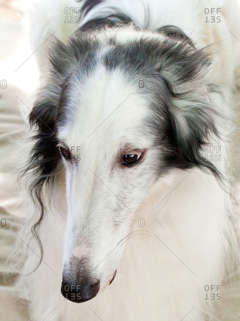 Portrait of long-haired greyhound.