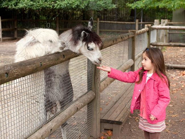 Young girl feeding lama in zoo