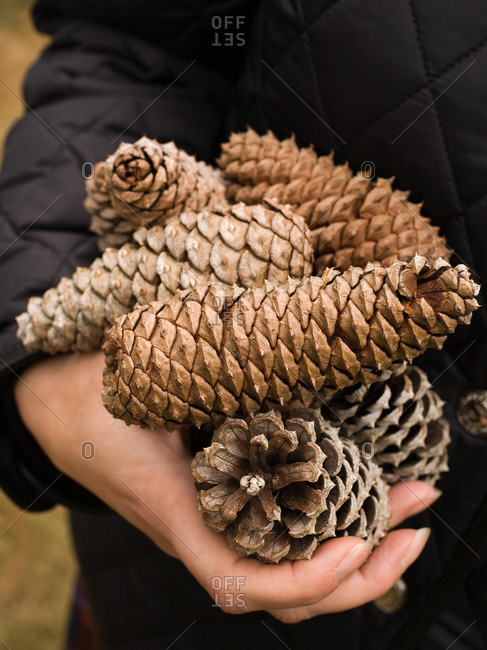 Close up of hand holding heap of pine cones