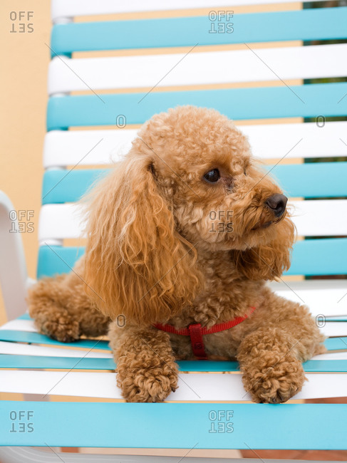 Portrait of apricot poodle laying on chair