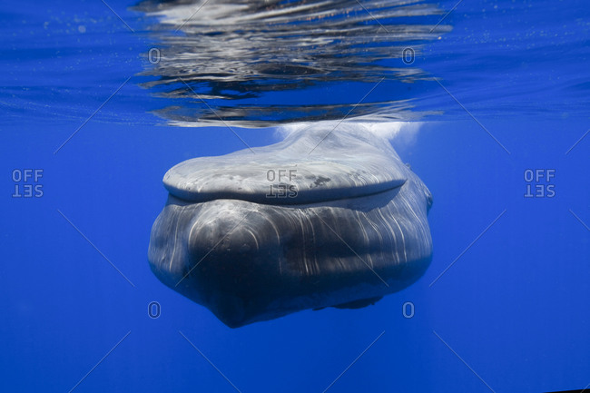 Face to face with a Blue whale, the largest animal in existence on Earth