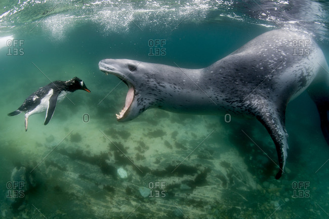 A Leopard seal prepares to eat a drowned penguin